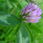 Red clover, Oak Island