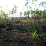 Cleared woodland for excavations, Oak Island